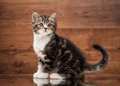 Scottish straight kitten on mirror and wooden texture with reflects Stock Photo