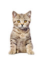 Scottish straight kitten sitting looking at camera isolated on white background Stock Photos