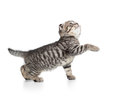 Scottish tabby kitten gives paw and looking up isolated Royalty Free Stock Images
