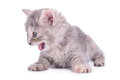 Scottish tabby kitten Royalty Free Stock Photo