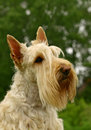 The Scottish Terrier Royalty Free Stock Photo