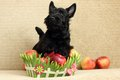 Scottish terrier with apple Stock Photos