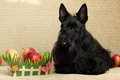 Scottish terrier with apple Royalty Free Stock Photography