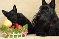 Scottish terrier with apple Royalty Free Stock Photos