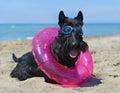 Scottish terrier on beach Royalty Free Stock Photo