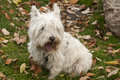 Scottish terrier closeup