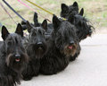 Scottish terrier family familyon the walk Stock Photo