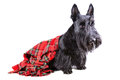 Scottish terrier in a kilt red sitting on white background Stock Images