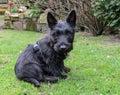 Scottish terrier puppy dog sitting in a garden. Royalty Free Stock Photo