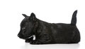 Scottish terrier puppy laying down isolated on white background Royalty Free Stock Image