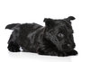 Scottish terrier puppy in playful pose isolated on white background Stock Images