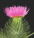 Scottish thistle Stock Photos
