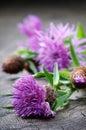 Scottish Thistle Flower