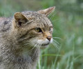 Scottish wildcat Royalty Free Stock Photography