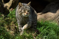 Scottish wildcat against a background of shadowed foliage Stock Images