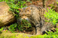 Scottish wildcat felis silvestris the domestic cat is sometimes considered a subspecies of the genetic morphological and Royalty Free Stock Photos