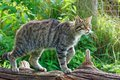 Scottish wildcat the felis silvestris silvestris also known as the european is an endangered subspecies of that Royalty Free Stock Image