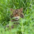 Scottish Wildcat in long grass Stock Photo