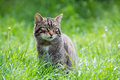 Scottish wildcat in long vibrant green grass Royalty Free Stock Photos