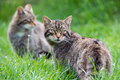 Scottish wildcat in long vibrant green grass Stock Photography