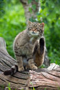 Scottish wildcat in long vibrant green grass Stock Photo