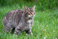Scottish wildcat in long vibrant green grass Stock Image