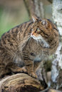 Scottish wildcat sat log turning to look left out shot Royalty Free Stock Images