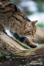 Scottish wildcat stealthily walking along log Stock Photos