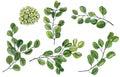 Scrap set of watercolor waxflower and green leaves of eucalyptus