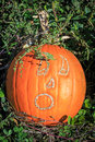 Scratch jack o lantern a pumpkin growing in a field with a face scratched into it Royalty Free Stock Images