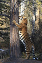 Scratching post i full size siberian tiger standing on hind legs extending body up a tree Royalty Free Stock Image