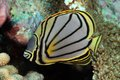 Scrawled butterflyfish Stock Images
