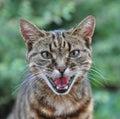 Screaming Cat Royalty Free Stock Photo