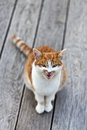 Screaming cat staring into the camera Stock Image