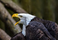 Screaming eagle haliaeetus leugocephalus head shot of bald with beak open calling to mate Stock Image