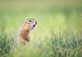 Screaming gopher in the grass Royalty Free Stock Images