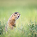 Screaming gopher on a summer meadow Stock Photography