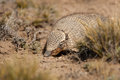 Screaming hairy armadillo aka in dry desert habitat Royalty Free Stock Photo