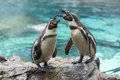 Screaming penguins on the stone. Loro Parque. Spain. Tenerife. Royalty Free Stock Photo