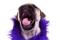 Screaming pug puppy dog Stock Image