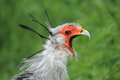 Screaming secretary bird the detail of Stock Photo
