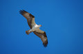 Screaming soaring osprey sea hawk hunting an also known as a is and gliding along as it hunts Stock Photography