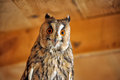Screech-owl Royalty Free Stock Photo