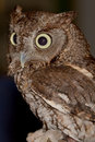 Screech owl a close up of a Stock Image