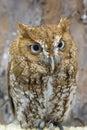 Screech Owl Closeup Royalty Free Stock Photo