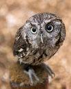 Screech owl Royalty Free Stock Photo