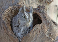 Screech owl grey phase new york central park Royalty Free Stock Image