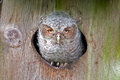 Screech owl juvenile in nest box looking directly at camera Stock Photos
