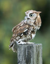 Screech Owl Red Phase on fence post Royalty Free Stock Photo