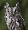 Screech owl stare a close up of an eastern megascops asio staring at the camera Stock Photography
